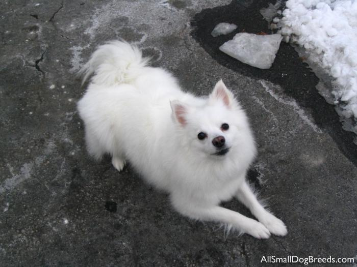 Sesi (Snow in Eskimo), the American Eskimo Dog