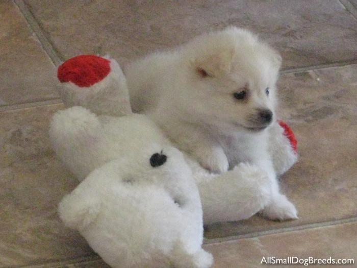 J-CI  (Jay-cee), the American Eskimo Dog (Toy)