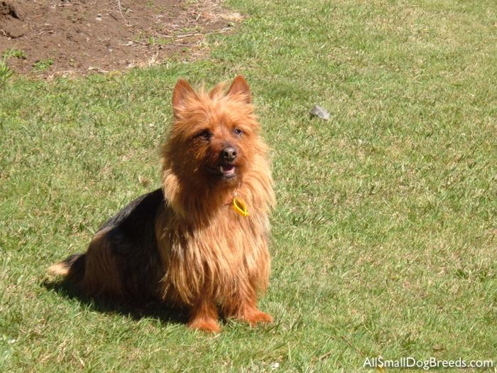 Tillym, the Australian Terrier