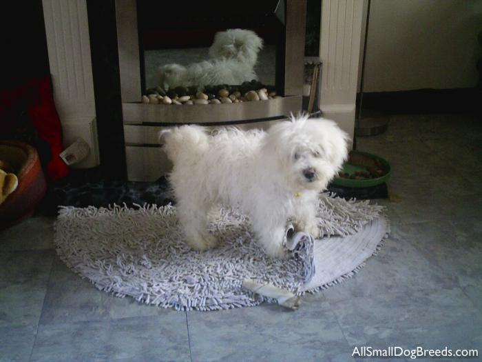 BON ANGEL, the Bichon Frise