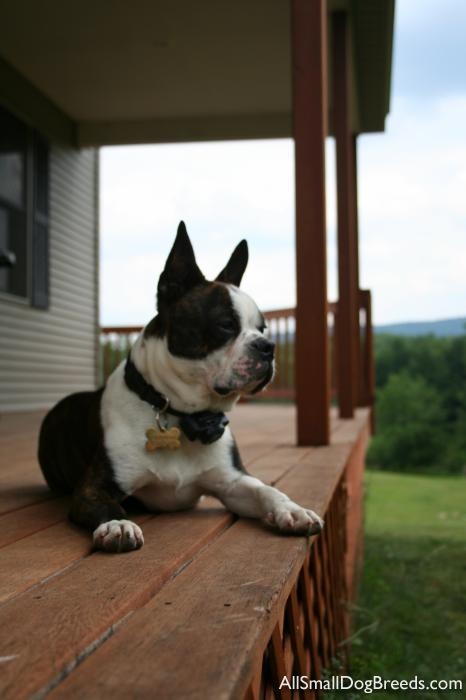 Louie, the Boston Terrier