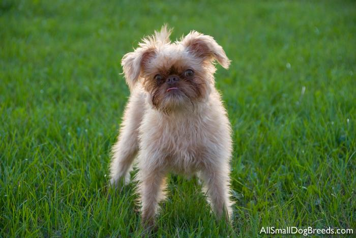 Brussels Griffon (Rough)