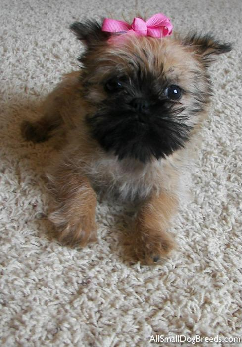 Chewy, the Brussels Griffon