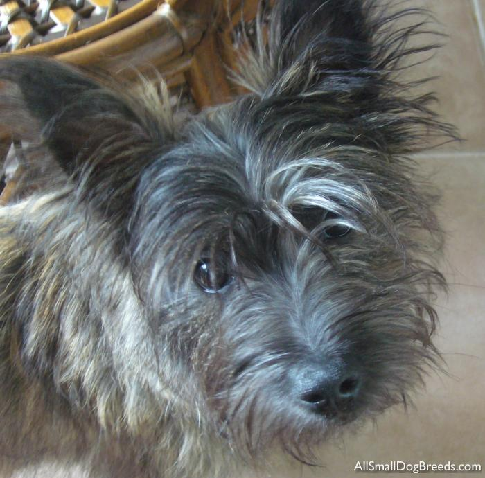Ruby, the Cairn Terrier