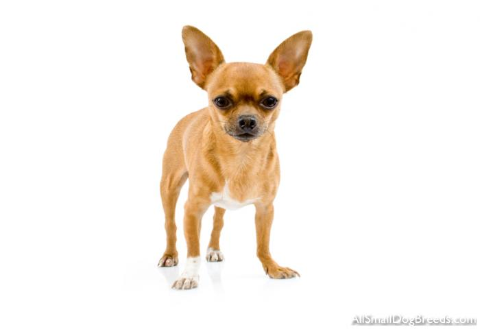 Chihuahua (Short coat)