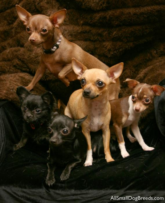 Chihuahua (Shorthaired)