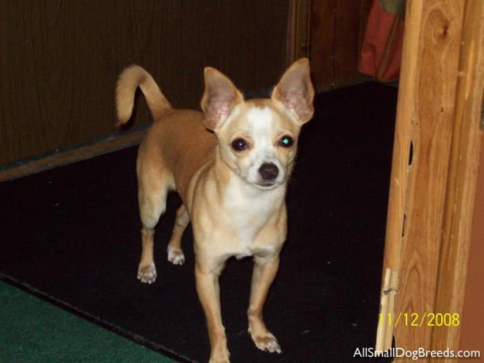 Toad, the Chihuahua - Chihuahua (Short coat) - Small Dogs