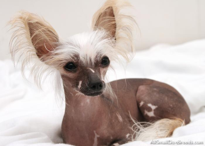 Chinese Crested (Hairless)
