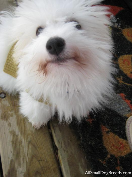 Juneau, the Coton De Tulear