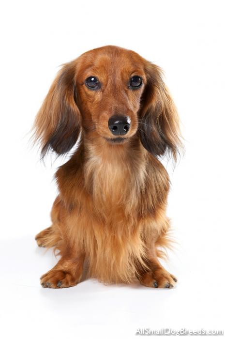 dachshund longhaired dachshund longhaired small dogs