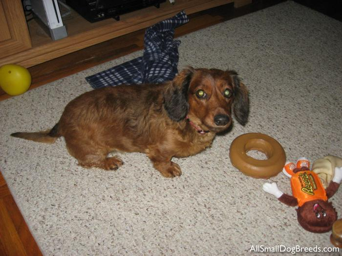 Peanut, the Dachshund