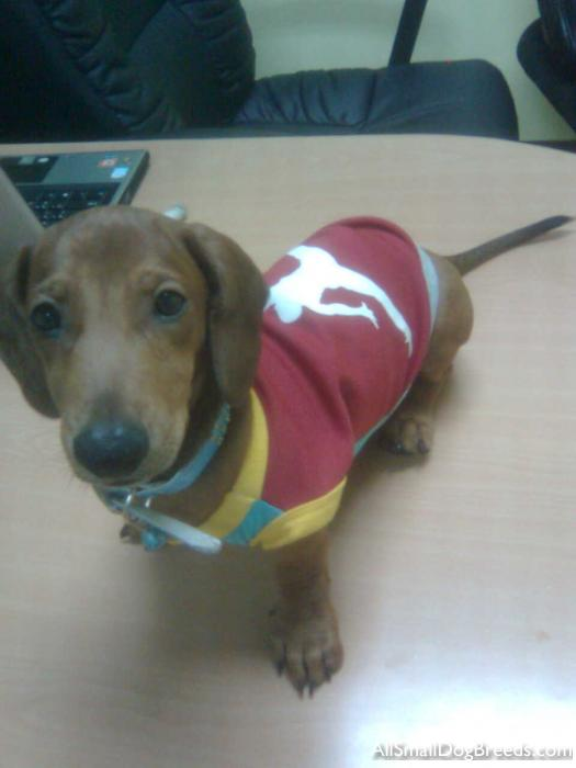 Scrappy, the Dachshund