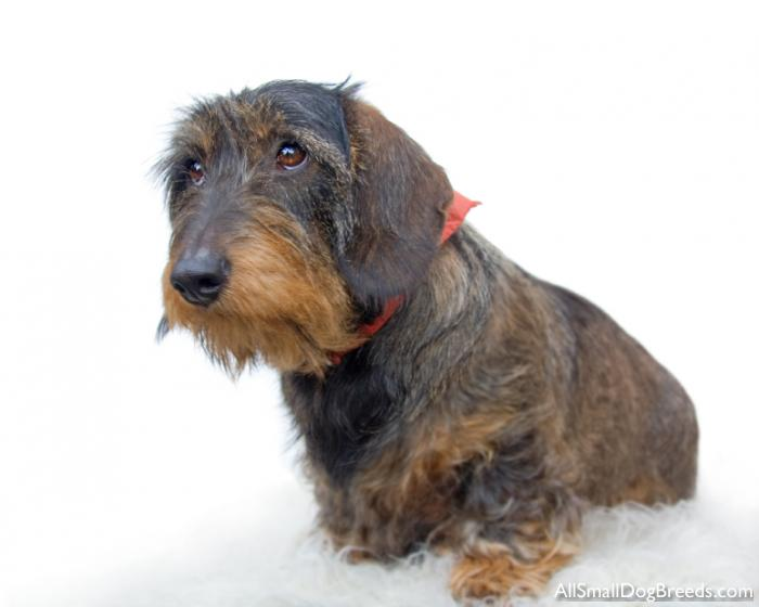 Dachshund (Wirehaired) - Dachshund (Wirehaired) - Small Dogs
