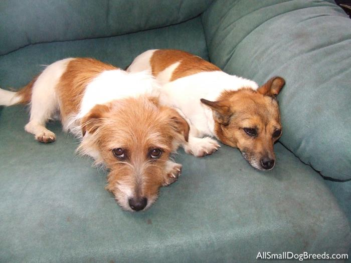 Buster and Tiny, Jack Russell Terriers