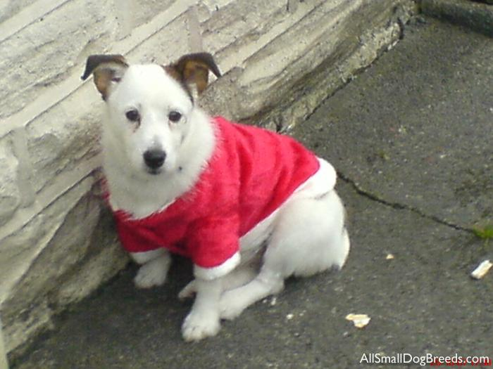 Casie, the Jack Russell Terrier