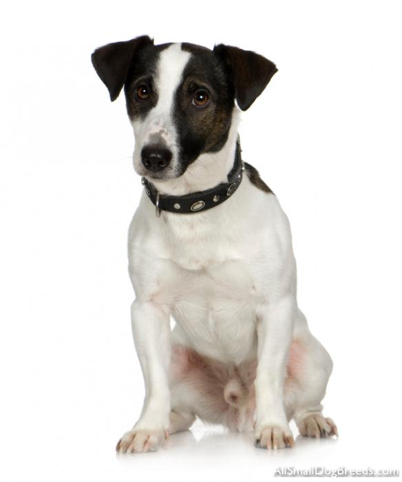 Jack Russell Terrier (Smooth)