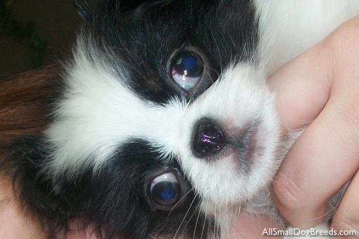 trixie   japanese chin   small dogs