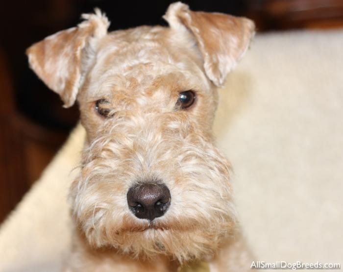 Jaco - Lakeland Terrier - Small Dogs