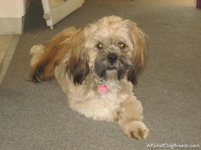 Chewy, the Lhasa Apso