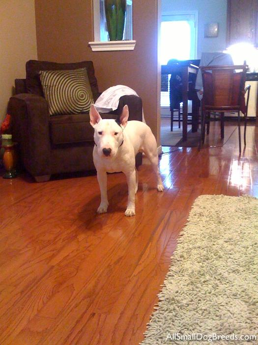 giddy, the Miniature Bull Terrier