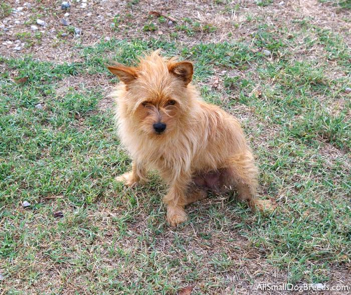 List of small terrier breeds