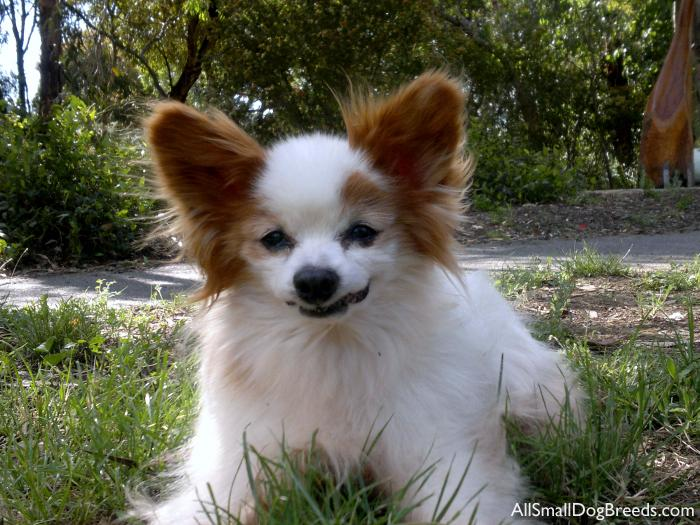... Small Dog Breeds Pictures Of Dog Breeds Small Dog | Auto Design Tech
