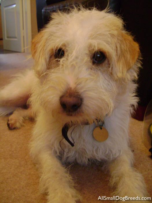 Ollie, the Parson Russell Terrier