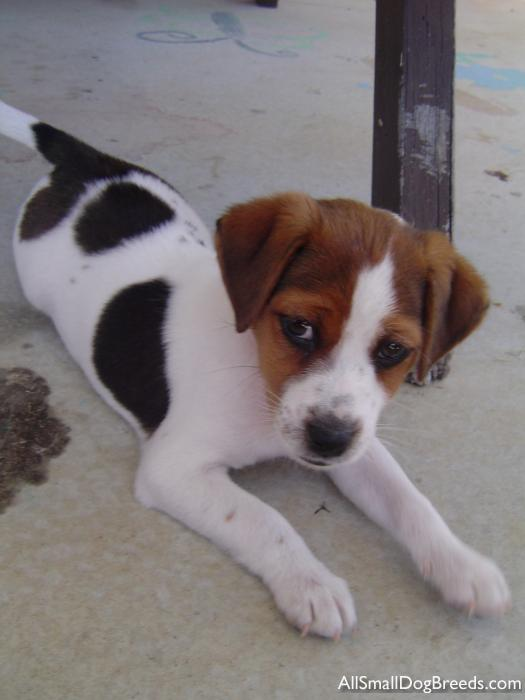 Milo Parson Russell Terrier Smooth Small Dogs