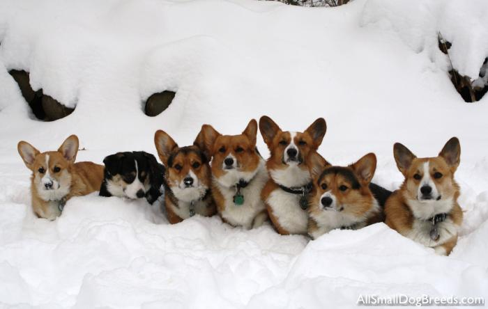 Wendt Worth Corgis