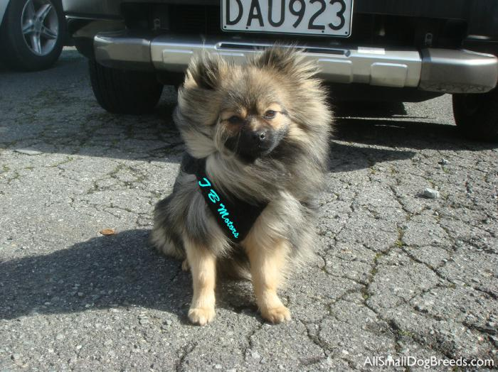 Buddy, the Pomeranian