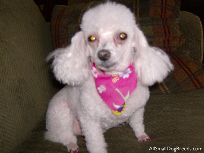Chi Chi, the Miniature Poodle
