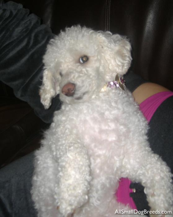 Prissy the Toy Poodle