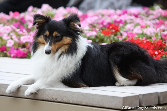 Siu June, the Shetland Sheepdog