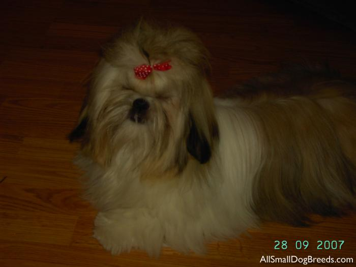 Gracie Lou, the Shih Tzu