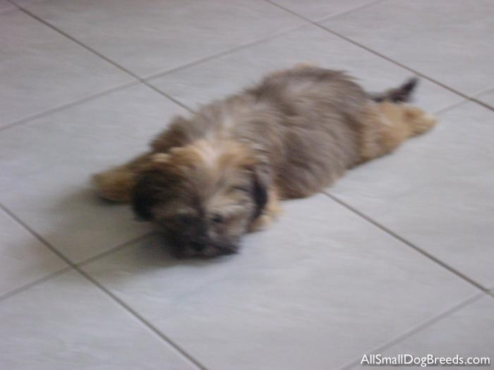 After-U, the Shih Tzu